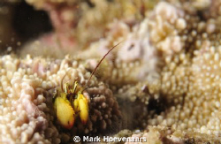 Coral-Residing Hermit Crab in Coral Polyp. by Mark Hoevenaars 